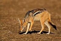 Scavenging black_backed Jackal Canis mesomelas, Kalahari desert, South Africa