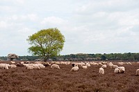 Sheep herd grazing in moorland at spring