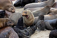 South African Fur Seal, arctocephalus pusillus, Colony at Cape Cross in Namibia