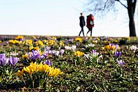 Blooming crocuses and walkers on the Aussenalster lake, Rotherbaum, Hamburg, Germany, Europe