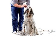 A professional is grooming an English Setter. Isolated on white background.