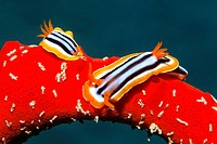 Two Nudibranches or Sea slugs (Chromodoris quadricolor), creeping over poisonous red Magnificent Firesponge (Latrunculia magnifica), Makadi Bay, Hurgh...