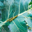 Two yellow and black large White butterfly larva on cabbage leaves