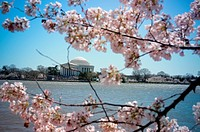Jefferson Memorial and cherry blossoms, Tidal Basin, Washington, DC