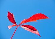 Rotes Weinblatt blauer Himmel