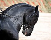 A black Friesian stallion withe a bridle and a bit