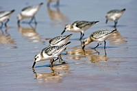 Sanderling / Calidris alba