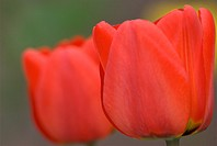 close up of red tulip / tulipa,