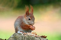 young little squirrel eating nuts on a tree trunk