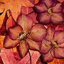 background of autumn leafs and pressed flowers