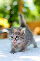 One month age walking kitten, shallow DOF