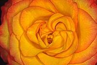 Rosa, Rosenblüte Blütendetail