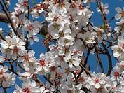 Almond blossoms Prunus dulcis, Turkey / Mandelblüten Prunus dulcis, Türkei