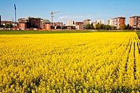 Field of yellow flowers in spring season close to the border of the city