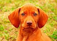 Puppy Hungarian vizsla portrait