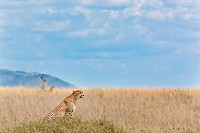action, Central, Tanzania, Serengeti, National Park, activity, Africa