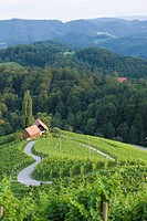 Slovenia, Spicnik, Mature man cycling through vineyard