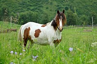 Beautiful multi_colored horse is grazed on meadow