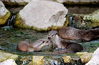 European river otter plays figthing Lutra lutra Captive, Alsace, France