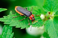 Soldier beetle on plant Cantharis fusca Alsace, France