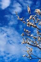 blühender Zweig der Schlehe im Frühsommer gegen den blauen Himmel