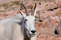 Mountain Goat on Mt. Evans, Colorado
