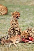 Cheetah. Acinonyx jubatus.