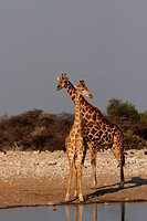 Two Giraffes in the Etosha National Park, Namibia