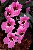 Miltonia Saint Helier ´Pink Delight´, Miltonie, Stiefmütterchen_Orchidee