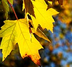 Yellow maple leaves close up. Autumn