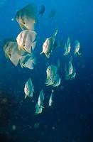 Fledermausfische, batfish