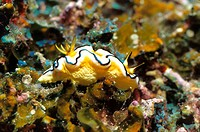 Nudibranch, Fiji