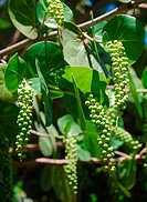 Sea Grape, Coccoloba uvifera, tropical tree and edible fruit