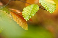 Close up of autumn leaves on branch