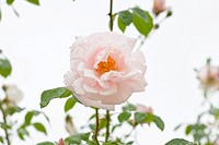 Rosa cultivar, Rose, Pink subject.