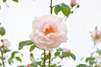 Rosa cultivar, Rose, Pink subject.
