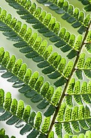 Pteridium aquilinum, Fern, Bracken, Green subject, White background.