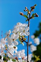Tree branch with white cherry flowers blooming over natural background