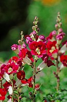 Common Snapdragon (Antirrhinum majus)