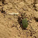 Green tiger beetle (Cicindela campestris), northern Bulgaria, Bulgaria, Europe