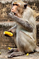 Monkey Macaque rhesus close_up to eat banana