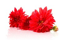 Red dahlias isolated on a white background with reflexion