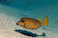 Yellow boxfish Ostracion cubicus, above sandy bottom, Hashemite Kingdom of Jordan, JK, Red Sea, Western Asia