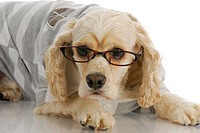 smart dog _ american cocker spaniel wearing reading glasses