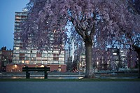 Blooming cherry tree at the riverside looking toward Back Bay, Charles River, Back Bay, Boston, Suffolk County, Massachusetts, USA