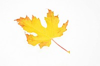 Autumn leaf on white background, close_up