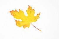 Autumn leaf on white background, close_up