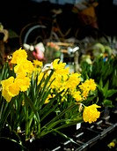 Spring Daffodils and Flowers at Garden Shop