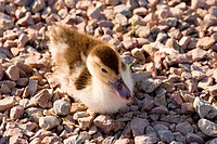 close_up of funny little duckling, sitting on pebbles