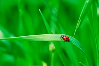 Red spotted Ladybird on green blade of grass selective focus on ladybird back